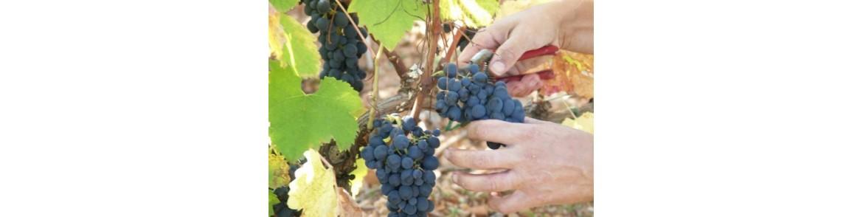 Ciseaux pour la Récolte des Fruits et des Légumes - Tenartis